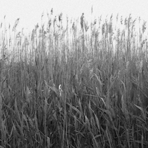 reeds_Noise