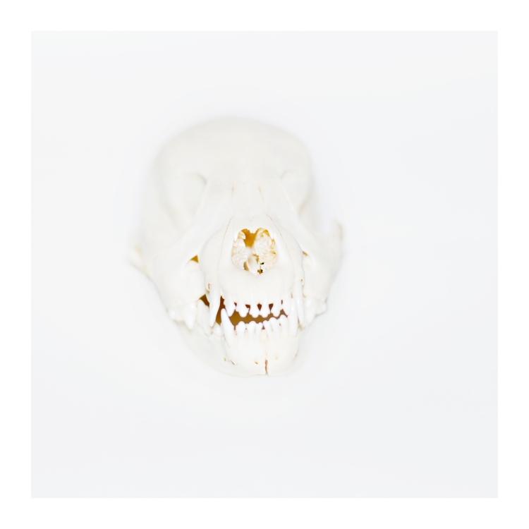 skull larger-sharp